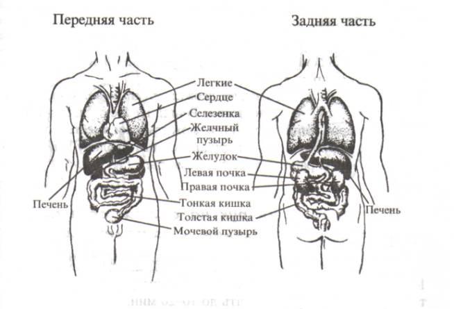 строение человека рисунок: